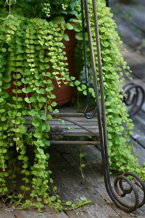 draping plants 58 best images about angel vine on pinterest gardens planters and zinc planters