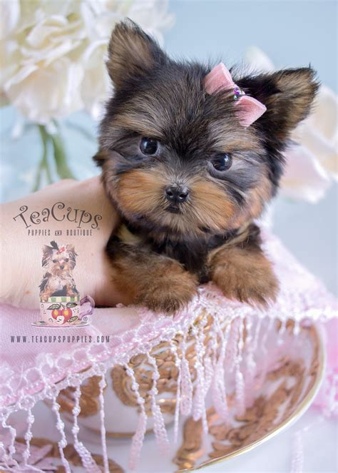 teacup yorkie beds tiniest teacup yorkie puppy for sale teacups puppies boutique