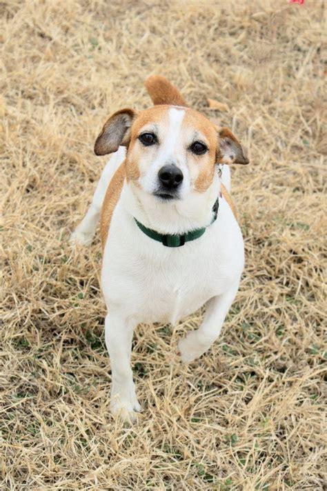 meet jackson a petfinder adoptable jack russell terrier