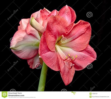 salmon colored flowers background close up of a salmon colored amaryllis flower stock image