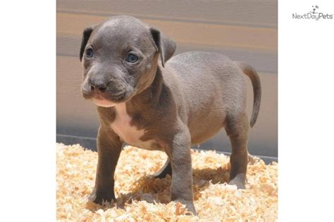puppies for sale syracuse ny meet ariel a american pit bull terrier puppy for sale for 1 000 sold to the