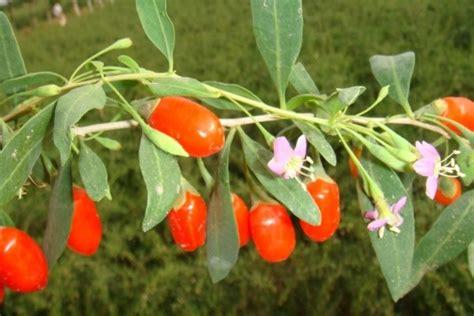 fiori di goji goji inherba il mondo delle piante aromatiche oli
