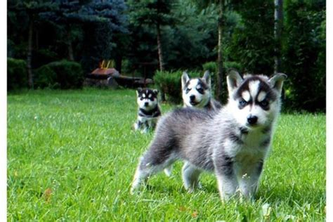 welpen gesucht welpen siberian husky in 246 sterreich siberian husky kaufen