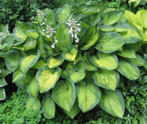 Most Fragrant Lavender Plants - variegated hosta plants flowers in my yard pinterest