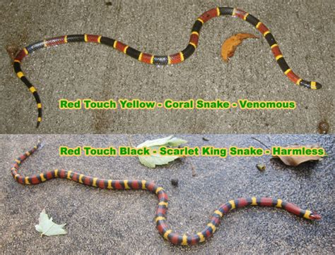 snake pattern red black yellow snake rhyme red touch yellow black identify coral