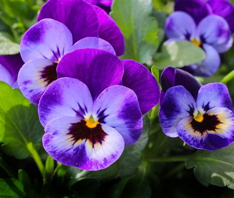pansy garden ideas summer garden ideas summer june gardening tips