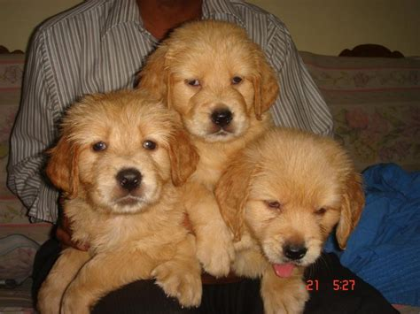 price of golden retriever puppy golden retriever puppies for sale nelson abraham 1 8359