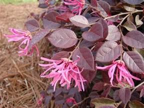 arbuste 224 feuilles rouges 18 id 233 es pour embellir le jardin
