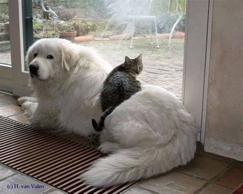haircuts for great pryneese dogs 1000 images about great pyrenees on pinterest when i