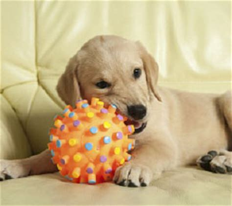 best thing for teething puppy how to survive puppy teething