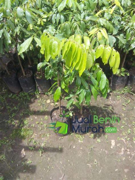 Harga Diskon Benih Tomat Ungu Indigo Maica Leaf Pack 20 bibit lengkeng new 70 cm jualbenihmurah