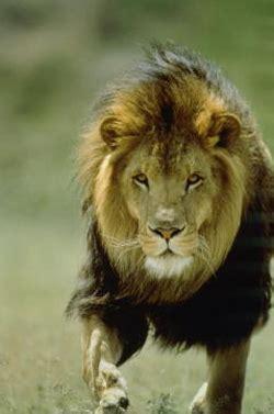 imagenes de leones yeldell blog fotos de leones