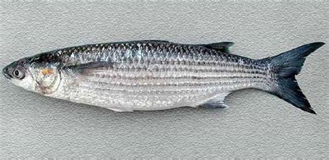 come cucinare il cefalo al cartoccio specie ittiche in cucina cefalo lotregano o cefalo dorato