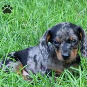 dachshund puppies for sale in lancaster pa dachshund puppies for sale greenfield puppies