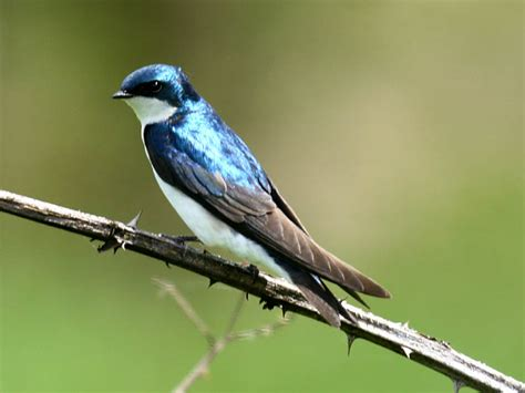 birds tree swallow
