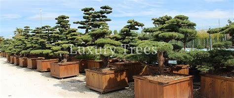 Garten Bonsai Kaufen exklusive gartenbonsai kaufen 187 luxurytrees 174 shop
