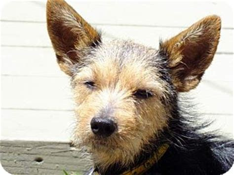 scottish terrier and yorkie mix adopted a4610095 torrance ca scottie scottish terrier yorkie