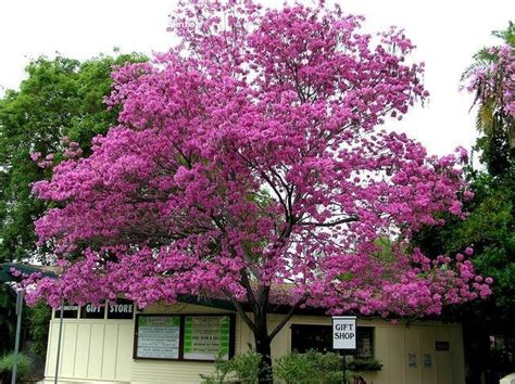 plantfiles pictures pink trumpet tree purple trumpet