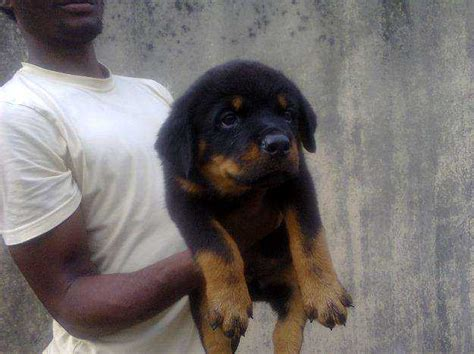 puppies for sale 100 100 purebreed rottweiler puppies for sale pictures pets nigeria