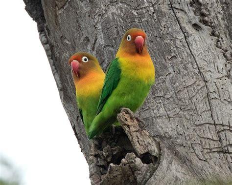 Toko Pakan Ikan Hias Jogja burun lovebird 5 hewanpedia