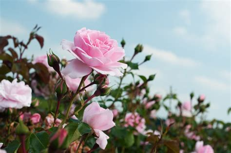 come curare le roselline in vaso come coltivare le non sprecare