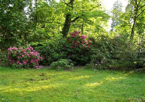 rhododendron hecke rhododendron hybriden freiwachsende hecken sichtschutz
