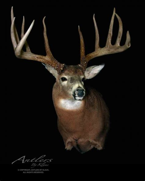 king buck king buck sheds antlers by klaus