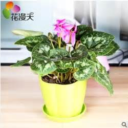 Small Indoor Plants For Desk Aliexpress Buy Cyclamen Flowers Small Potted Indoor