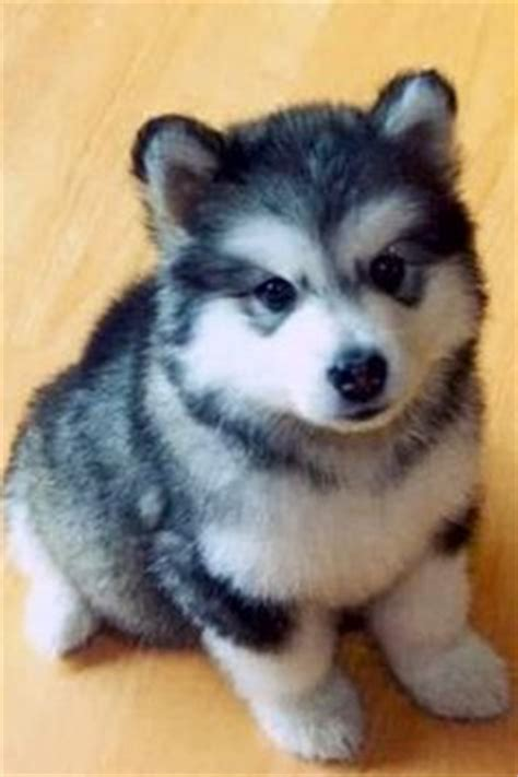 wolf pomeranian hybrid teacup wolf hybrid search animals wolves and search