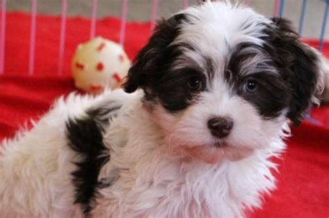 havanese adults for adoption chocolate havanese puppy chocolate havanese puppy for sale chocolate havanese
