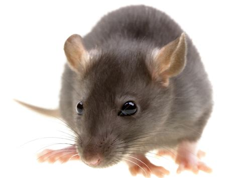 roof rats pest profile info photos