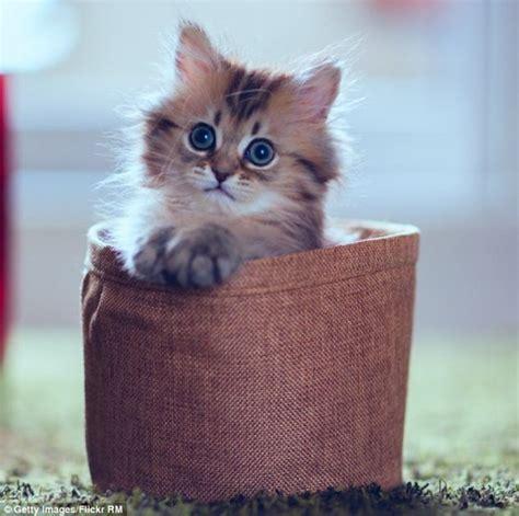 wallpaper anak kucing comel anak kucing paling comel di dunia www pixshark com