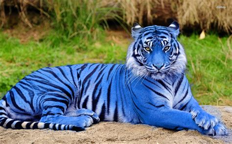 majestic blue tiger discovered in rainforest