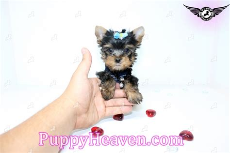 teacup yorkie black black teacup yorkie puppy in dallas tx7 5230 found a new loving home