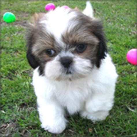 shih tzu poodle for sale philippines cheap shih tzu puppies for sale in ohio