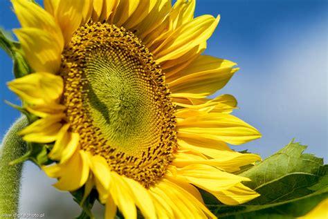 immagine dei fiori immagini dei fiori girasole fotografie immagini