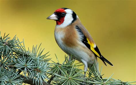 gold wallpaper with birds goldfinch tree wallpaper photo and wallpaper all