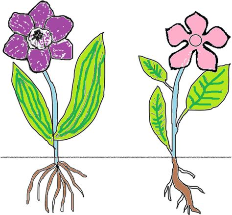 comparing monocots and dicots worksheet key monocot dicot coloring key