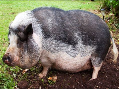 fundraiser by pua honi honi paper currency for pua the pot belly pig