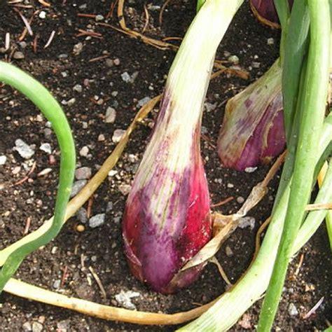 file sweet potatoes exposed dscf7301 jpg wikimedia commons onion multiplier a cepa aggregatum friends school