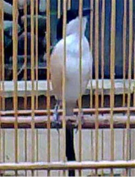 Harga Pakan Burung Ef ulat kandang alternatif ef buat cendet gembala news
