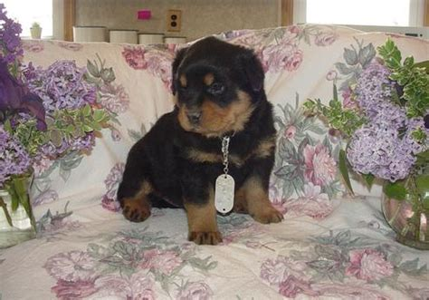 teacup rottweiler puppies puppies for sale rachael edwards