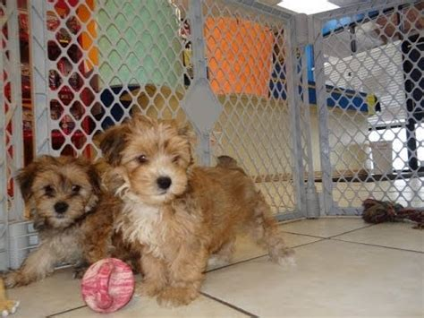 puppies for sale in az craigslist morkie puppies dogs for sale in arizona az 19breeders gilbert peoria