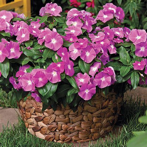 plants flowers madagascar periwinkle