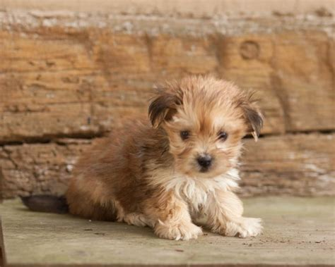 free puppies in nebraska lovable morkie puppies craigspets