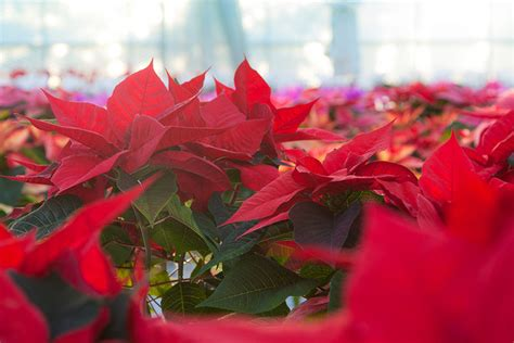 are poinsettias poisonous to dogs are poinsettias poisonous not unless you eat 500 leaves
