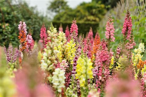 garden flowers and plants how to grow and care for snapdragon plants