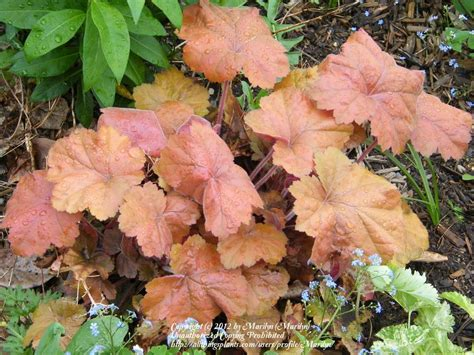 Southern Comfort Coral Bells by Photo Of The Leaves Of Coral Bells Heuchera Southern