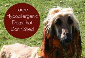 large hypoallergenic dogs that don t shed vills