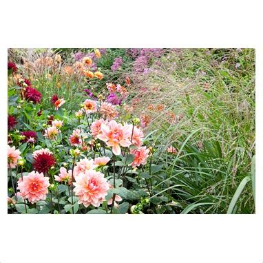 Dahlia By Yonna Collection gap photos garden plant picture library panicum